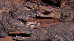борьба крокодилов