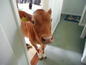 корова в жилище