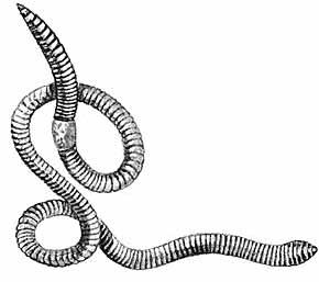 к чему снятся черви белые