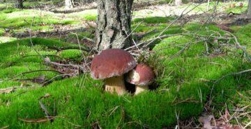 к чему снятся грибы собирать в лесу