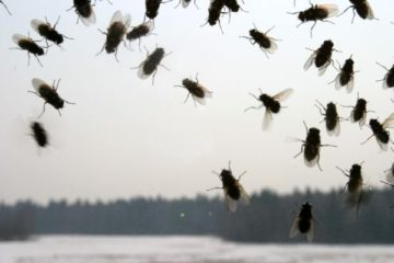 к чему снятся мухи много мух во сне