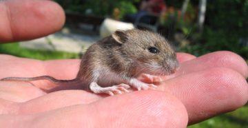 к чему снятся мыши маленькие серые