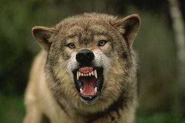 к чему снятся волки которые нападают