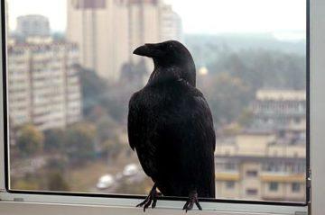 к чему снятся вороны черные