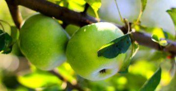 к чему снятся яблоки зеленые