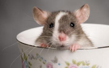 к чему снится крыса большая