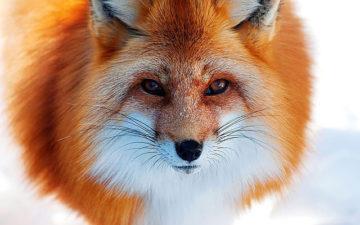 к чему снится лиса рыжая