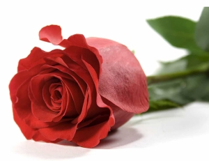 снятся красные розы во сне