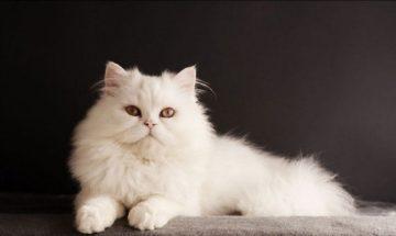 к чему снится белая кошка (кот, котята)