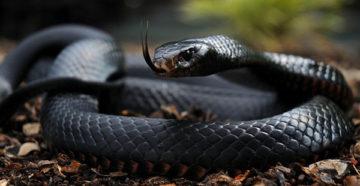 к чему снятся черные змеи